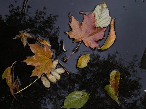 Free stock photo of autumn, maple leaves, rain