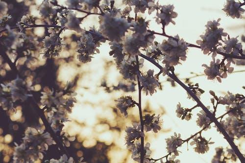 kiraz ağacı, Kiraz çiçeği içeren Ücretsiz stok fotoğraf