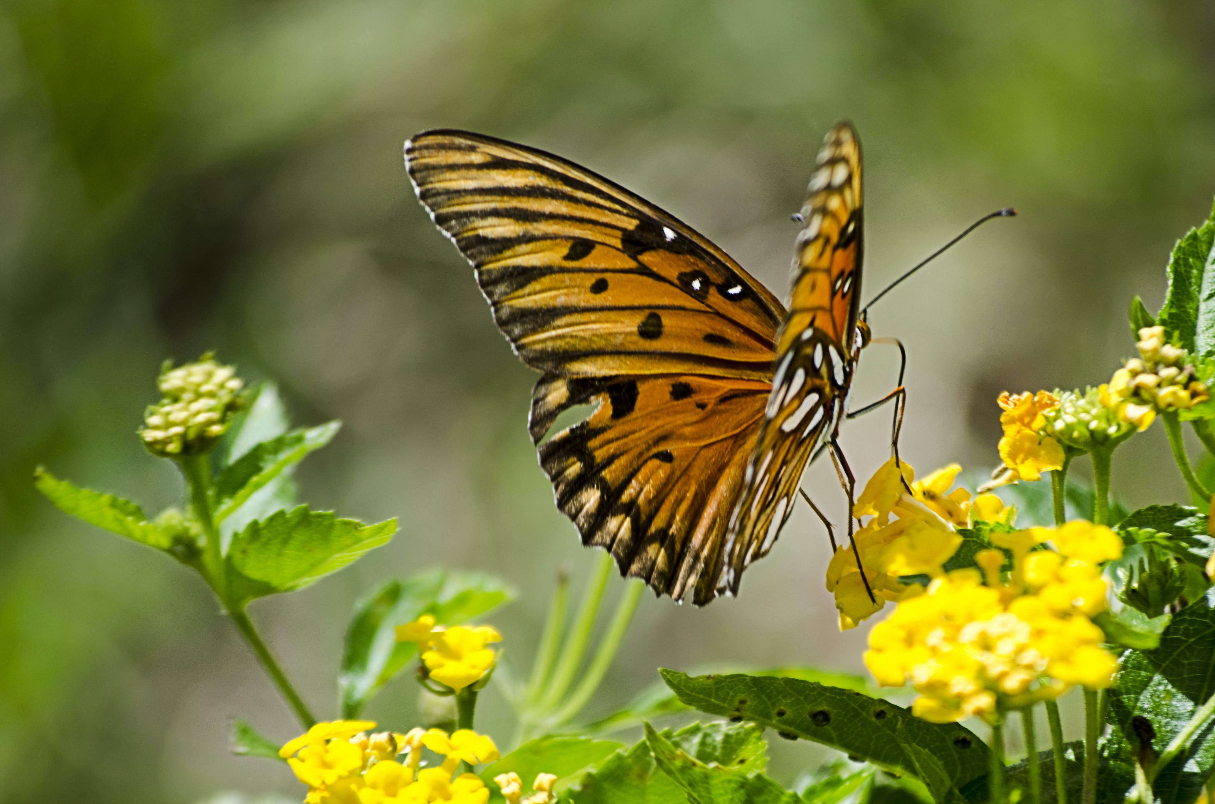 Gulf Fritillary Butterfly on Yellow Cluster Flower
