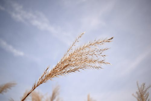 Free stock photo of blowing, blue sky, dry grass, free