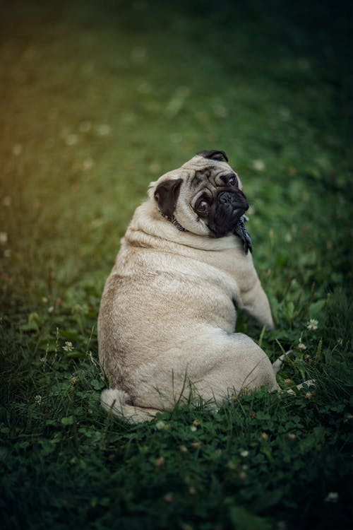 A Pug Sitting on the Field
