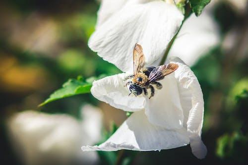 Kostnadsfri bild av bi, blomma, humla, insekt