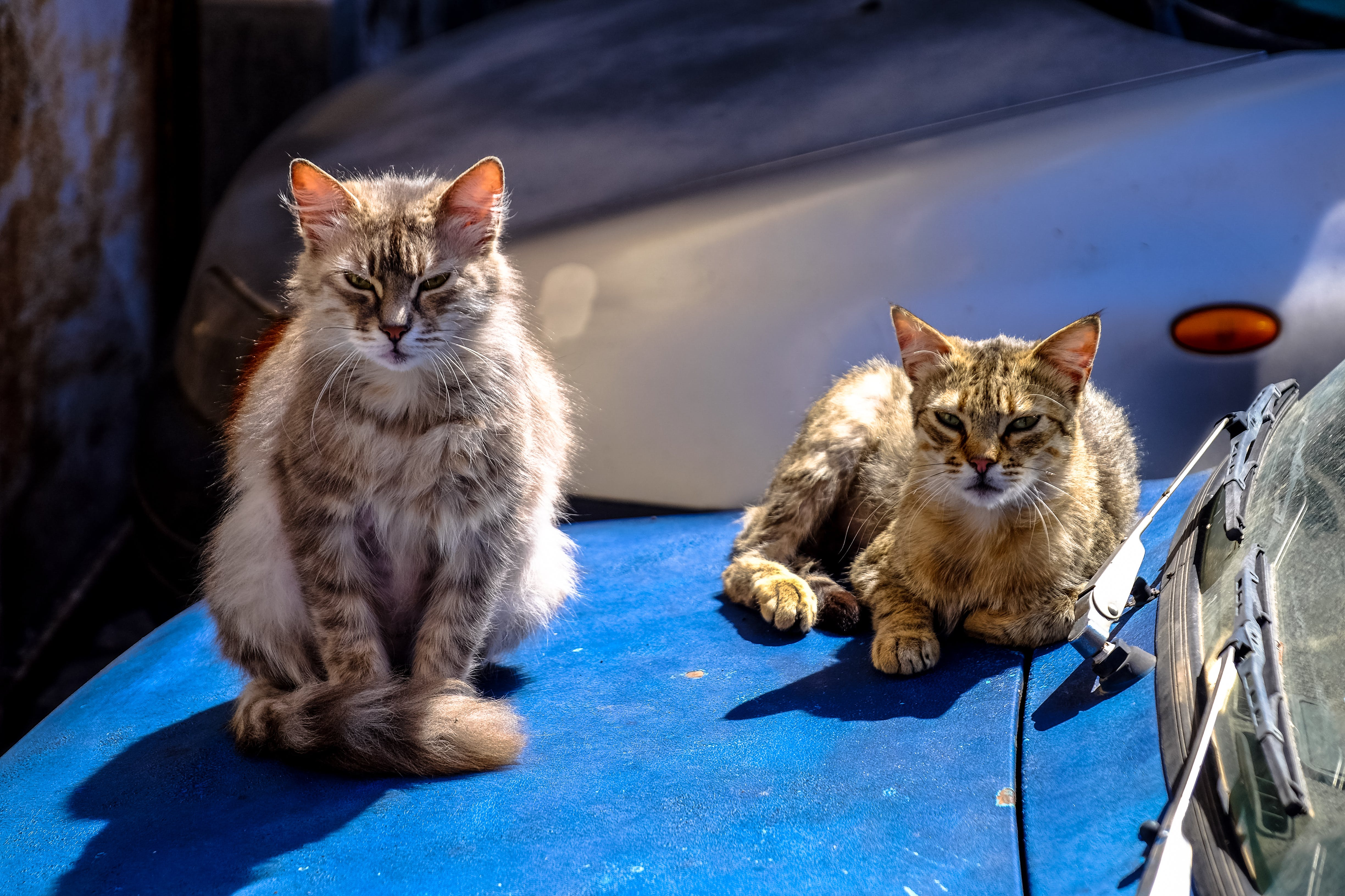 Tortoiseshell Cat With Brown Maine Coon Cat