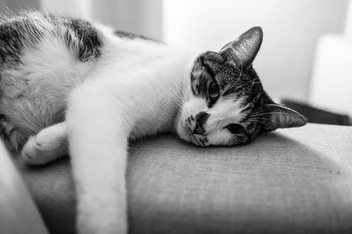 Grayscale Photography of Cat Lying on Sofa