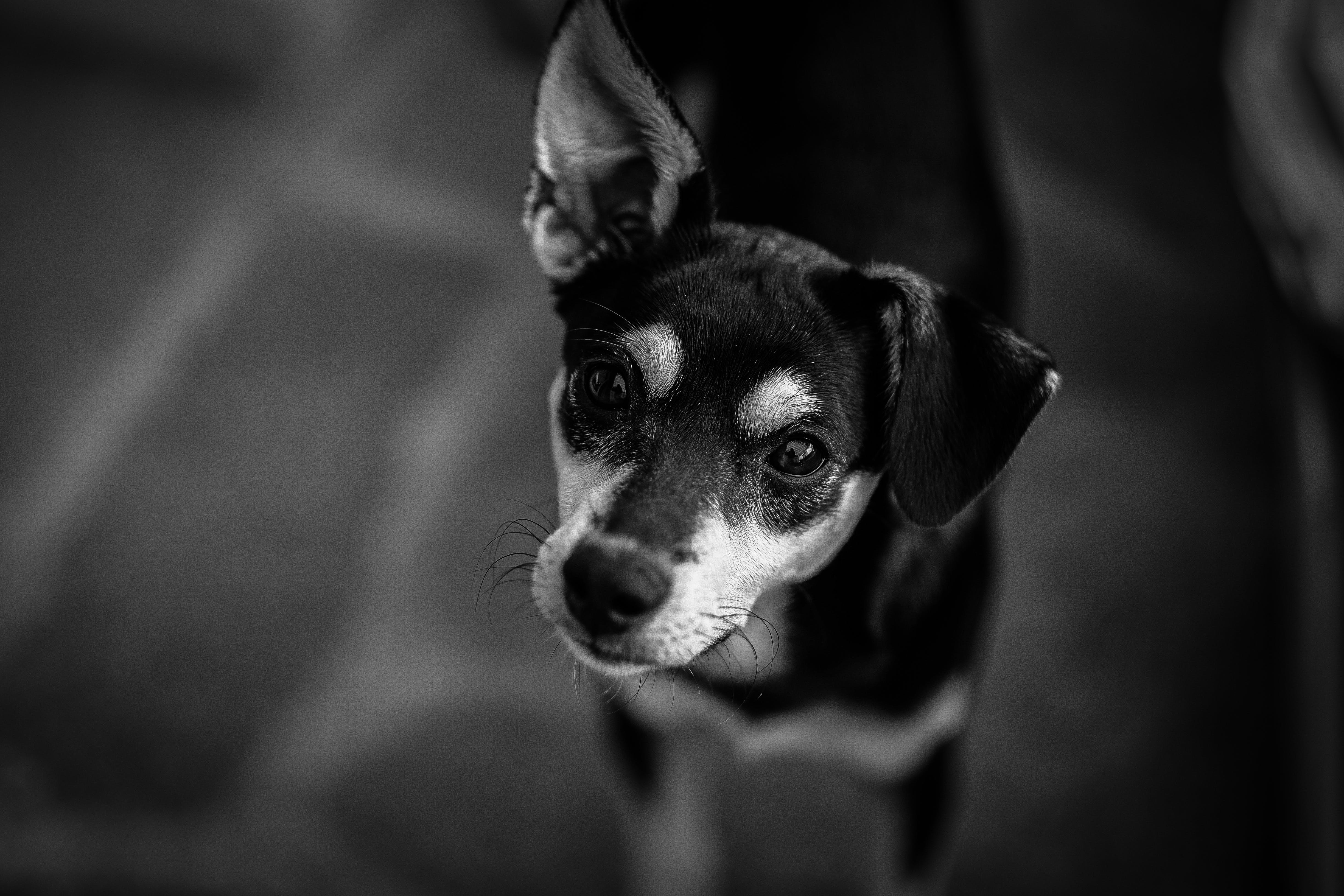 Black and White Short Coated Dog