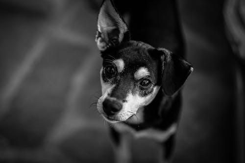 Black and White Short Coated Dog