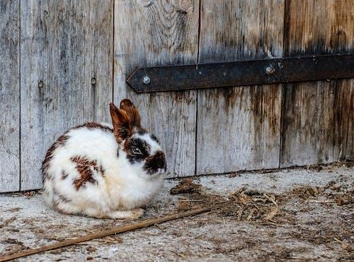 Ilmainen kuvapankkikuva tunnisteilla eläin, kani, pupu