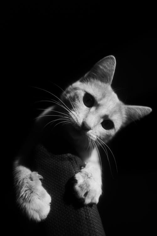 Black and white picture of cat