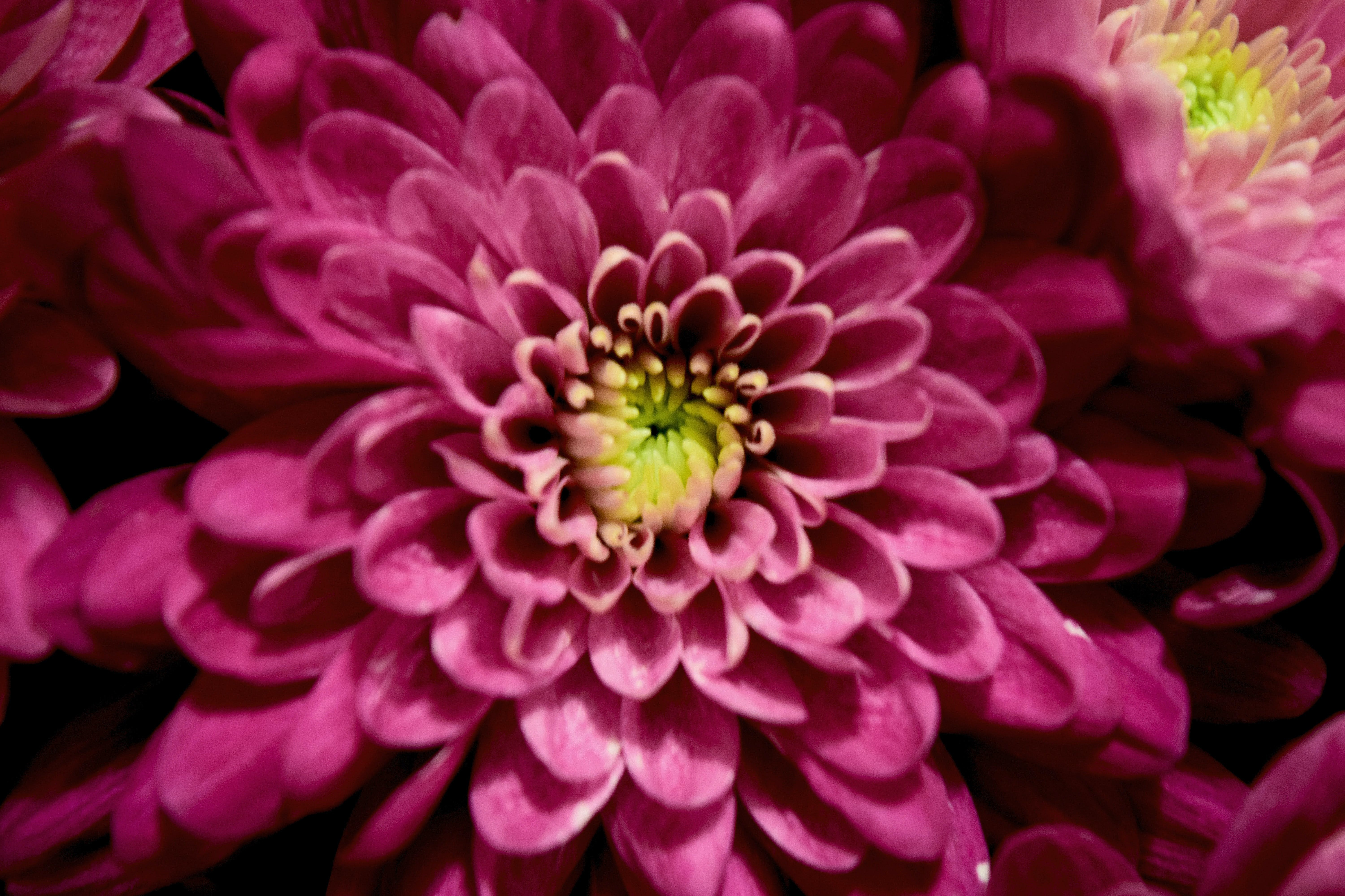 Close-up Photography of Pink Chrysanthemum Flowers