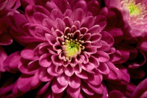 宏觀, 紫色的花朵 的 免費圖庫相片