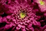 flower, pink, macro
