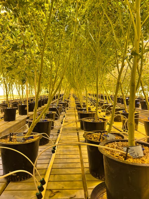 Free stock photo of cannabis cultivation, canopy, nature