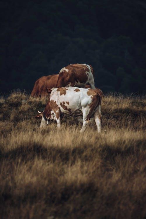 Δωρεάν στοκ φωτογραφιών με αγελάδα, αγρόκτημα, βόδια