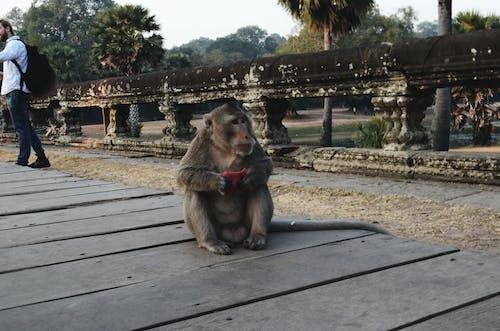 吃, 柬埔寨, 猴子 的 免费素材照片