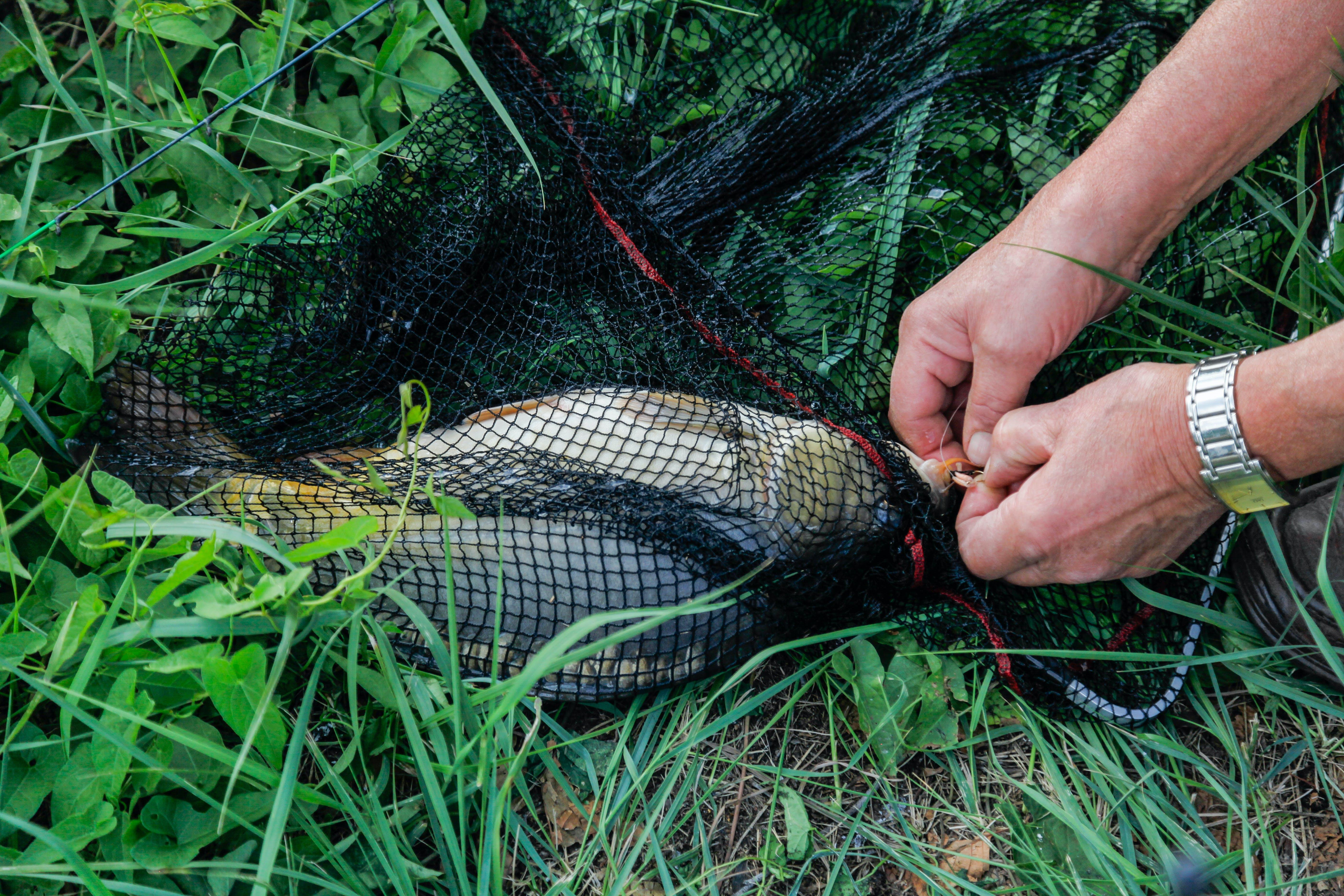 Free stock photo of carp, fish, fishing, fishing net