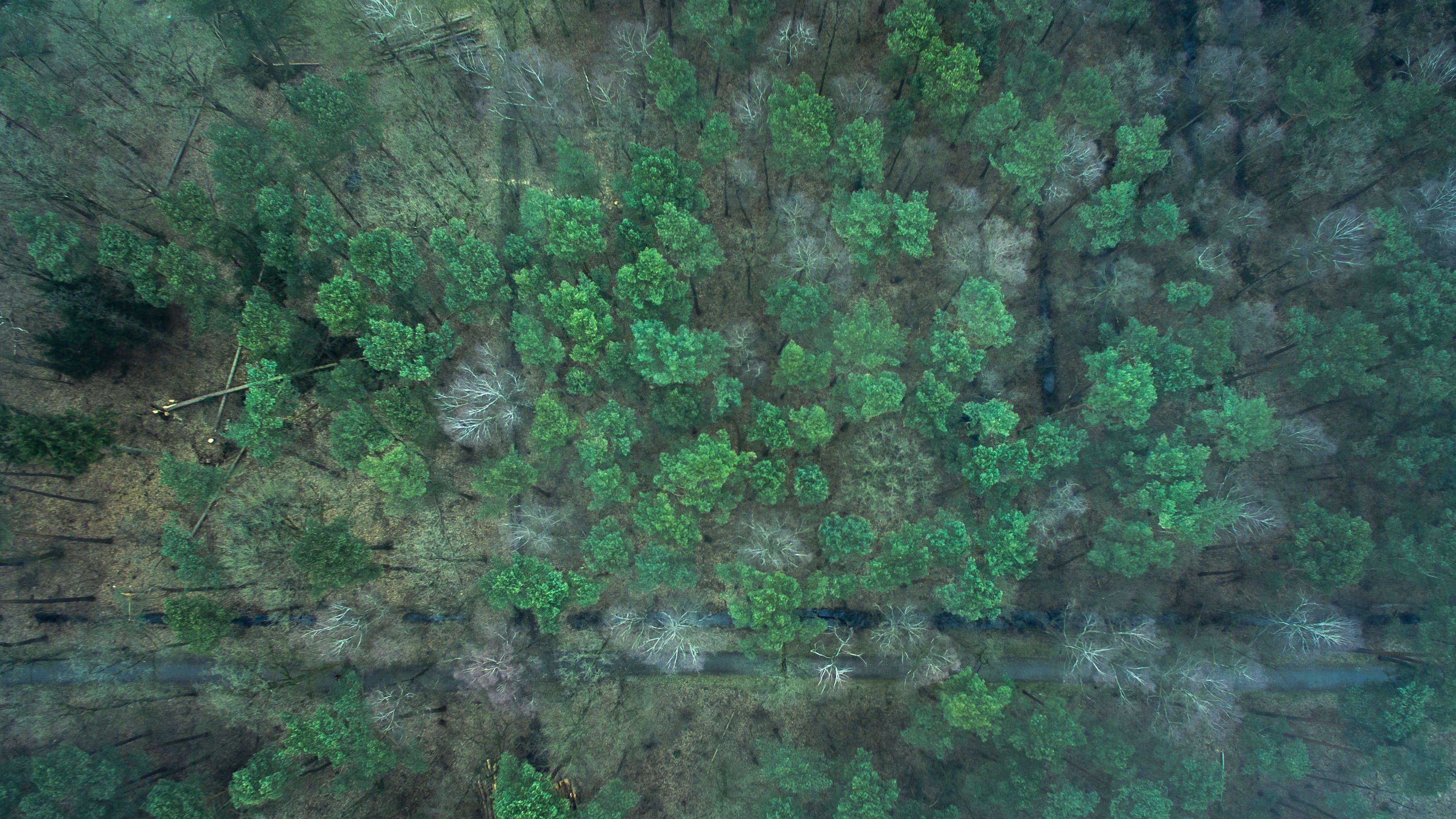 Foto d'estoc gratuïta de bosc, camí forestal, coberta forestal, coníferes