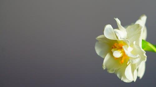 Kostenloses Stock Foto zu όμορφα λολλούδια, κοδδούνι λολλούδι