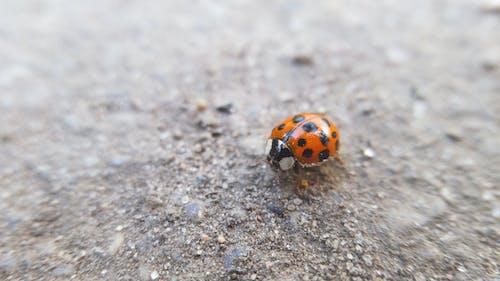 Безкоштовне стокове фото на тему «Beetle, комаха, макрофотографія, сонечко»
