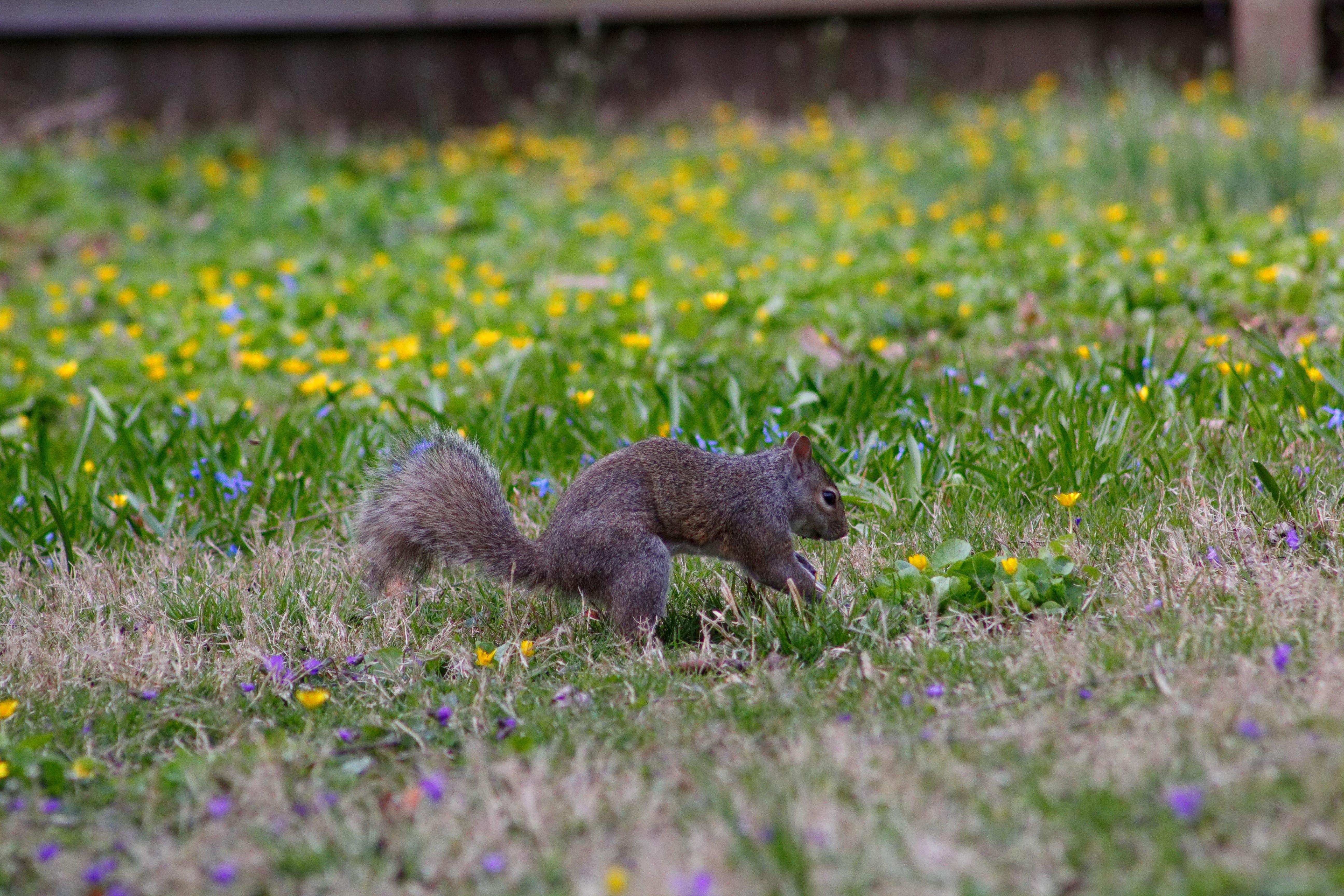 Free stock photo of animals, backyard, gray squirrel, nuts