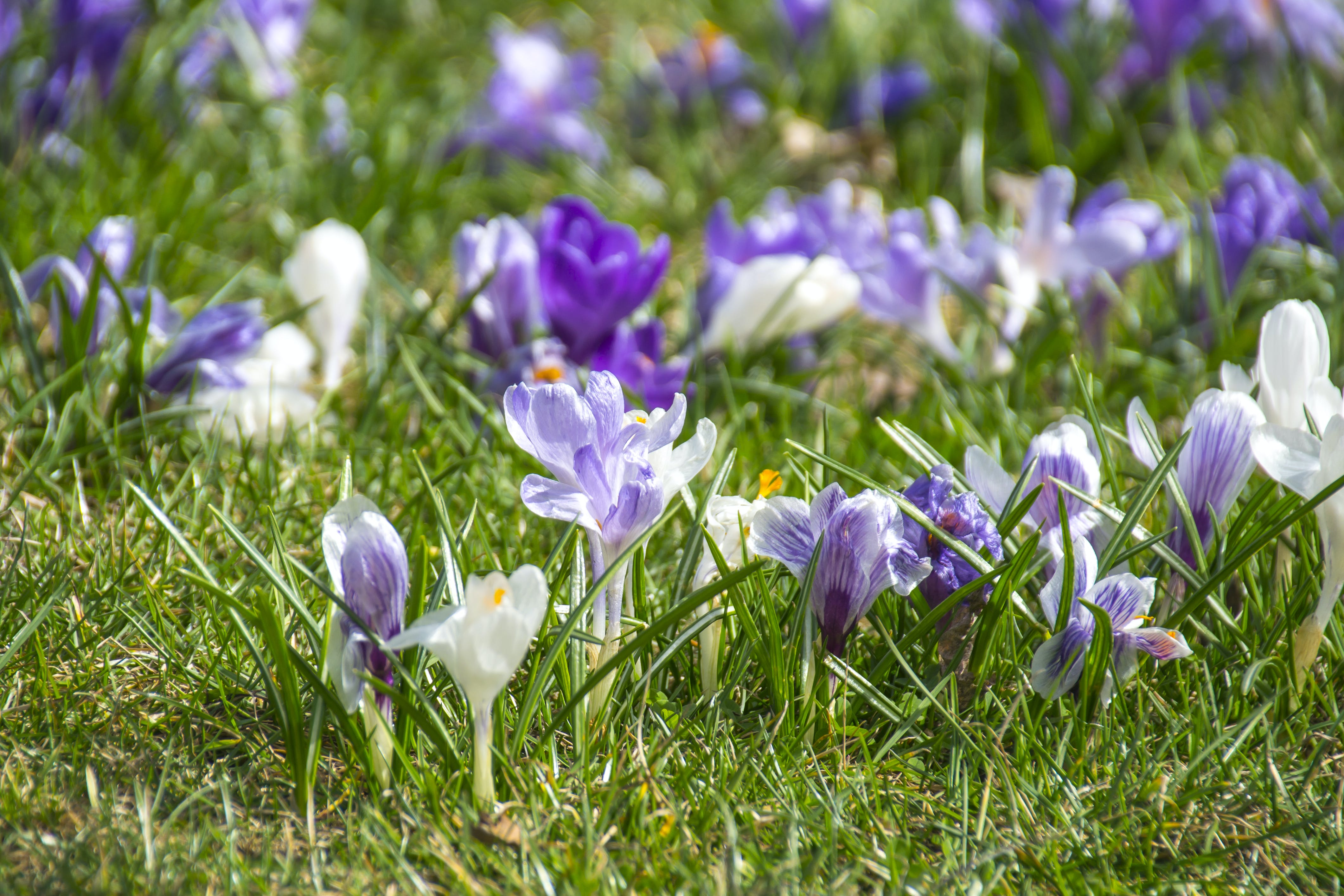 Free stock photo of flowers, grass, spring, colorful