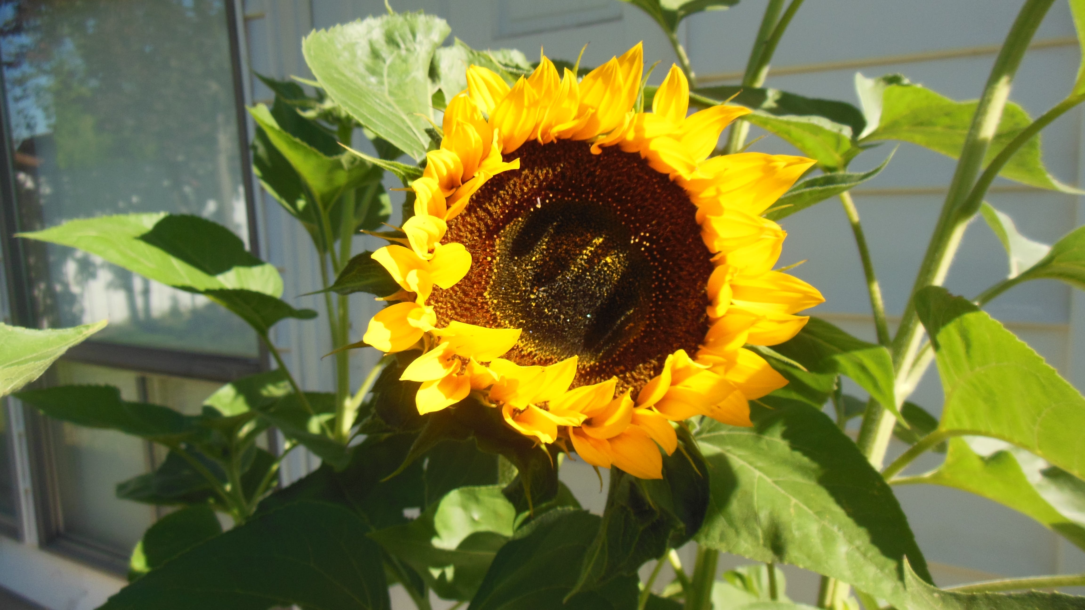 Free stock photo of sunflowers