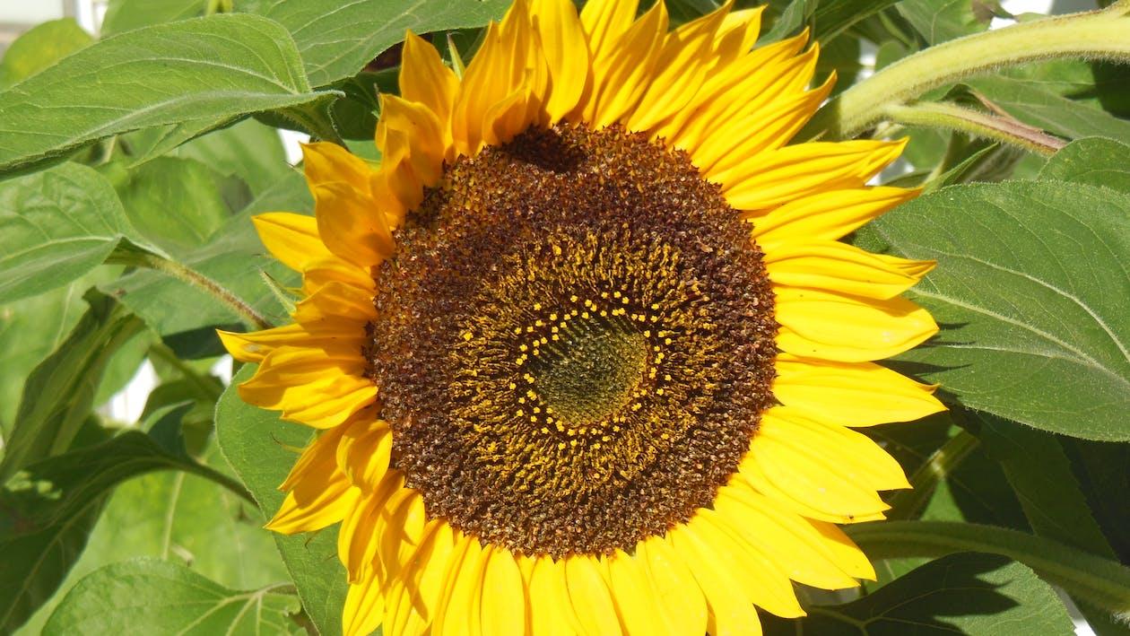 minimalism, sunflower beauty