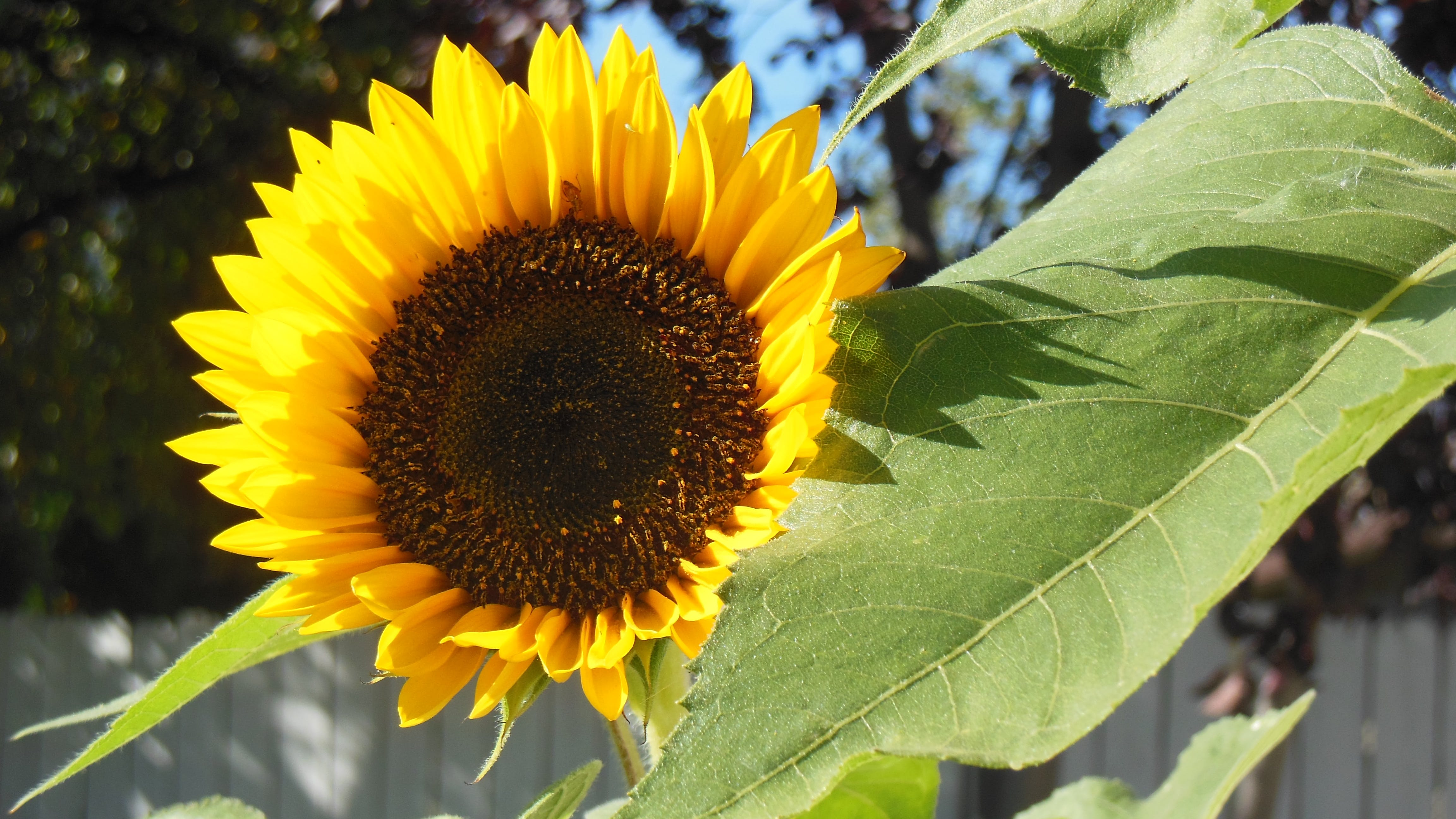 Free stock photo of curious sunflower