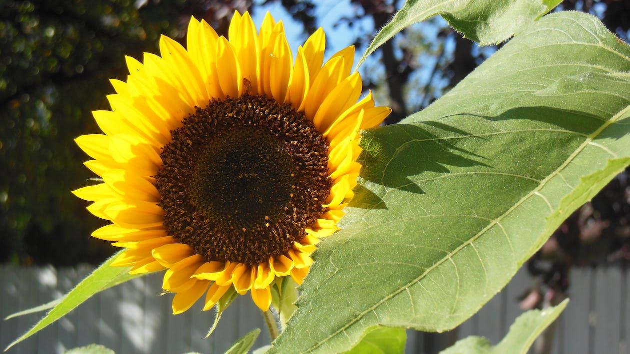 bunga matahari penasaran