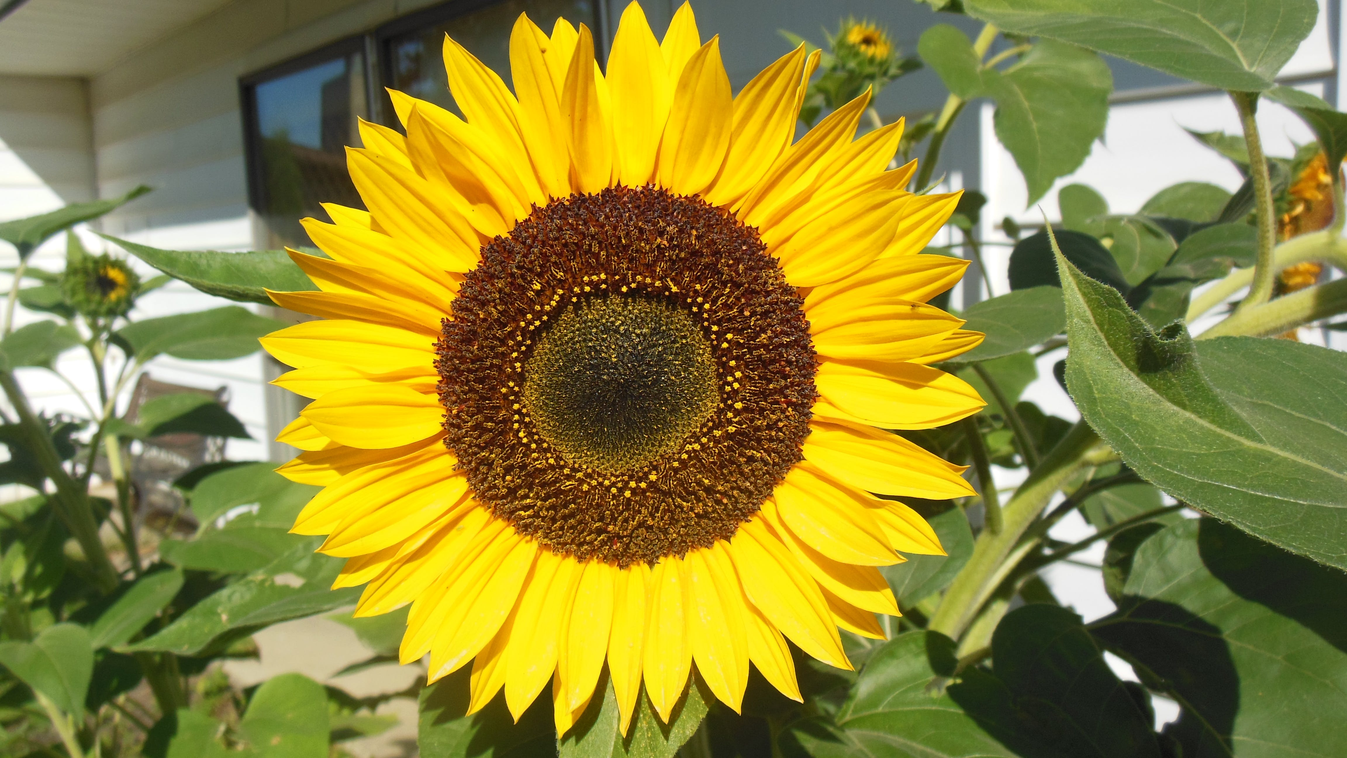 Free stock photo of blooming, full face sunflower, summer time