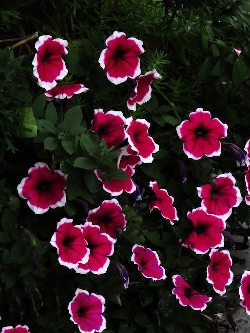 Gratis stockfoto met roze bloemen