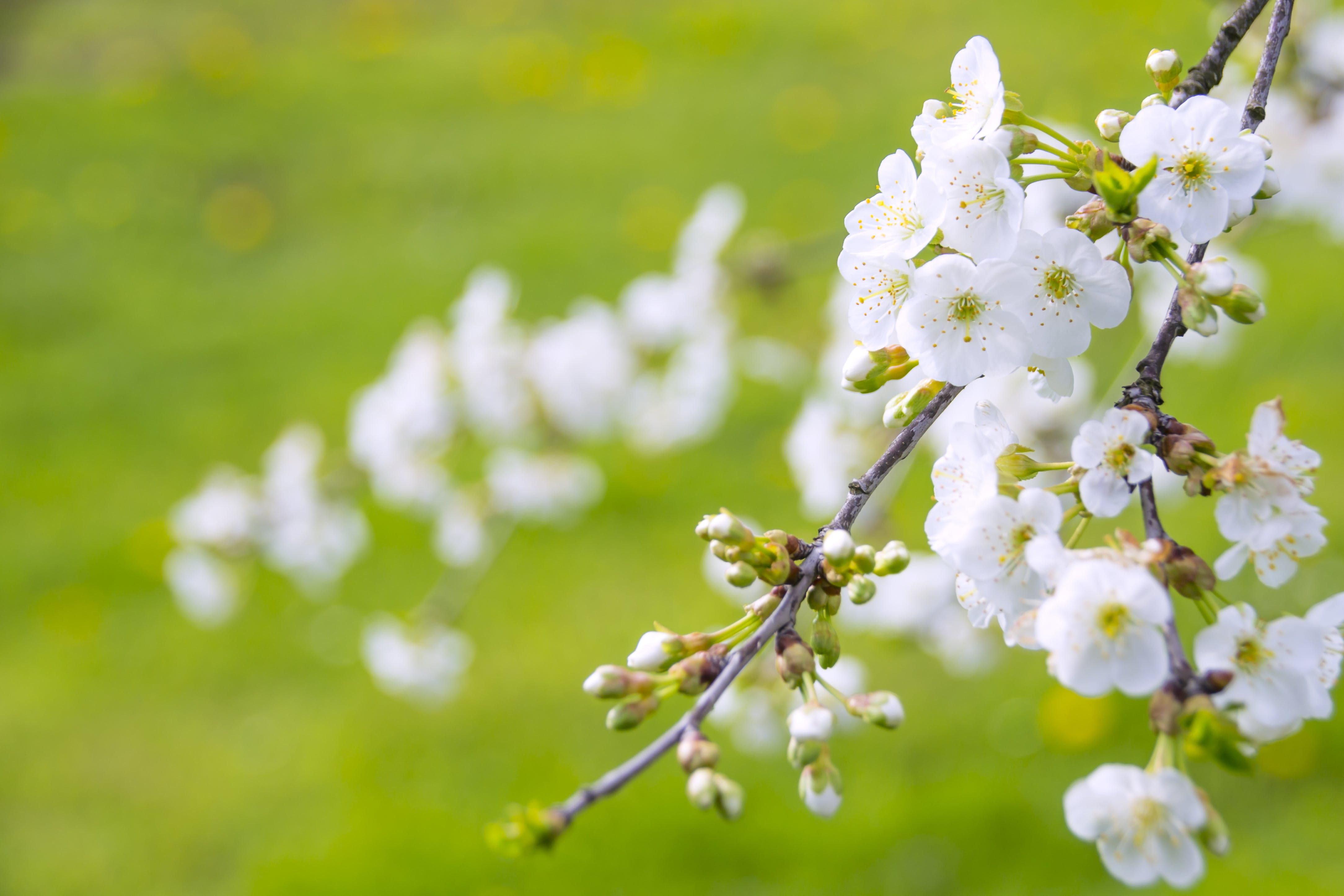Free stock photo of angelic beauty of the tree of life, angelic blooming cherry, background, blooming flowers