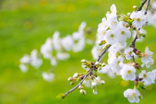 Free stock photo of angelic beauty of the tree of life, angelic blooming cherry, background