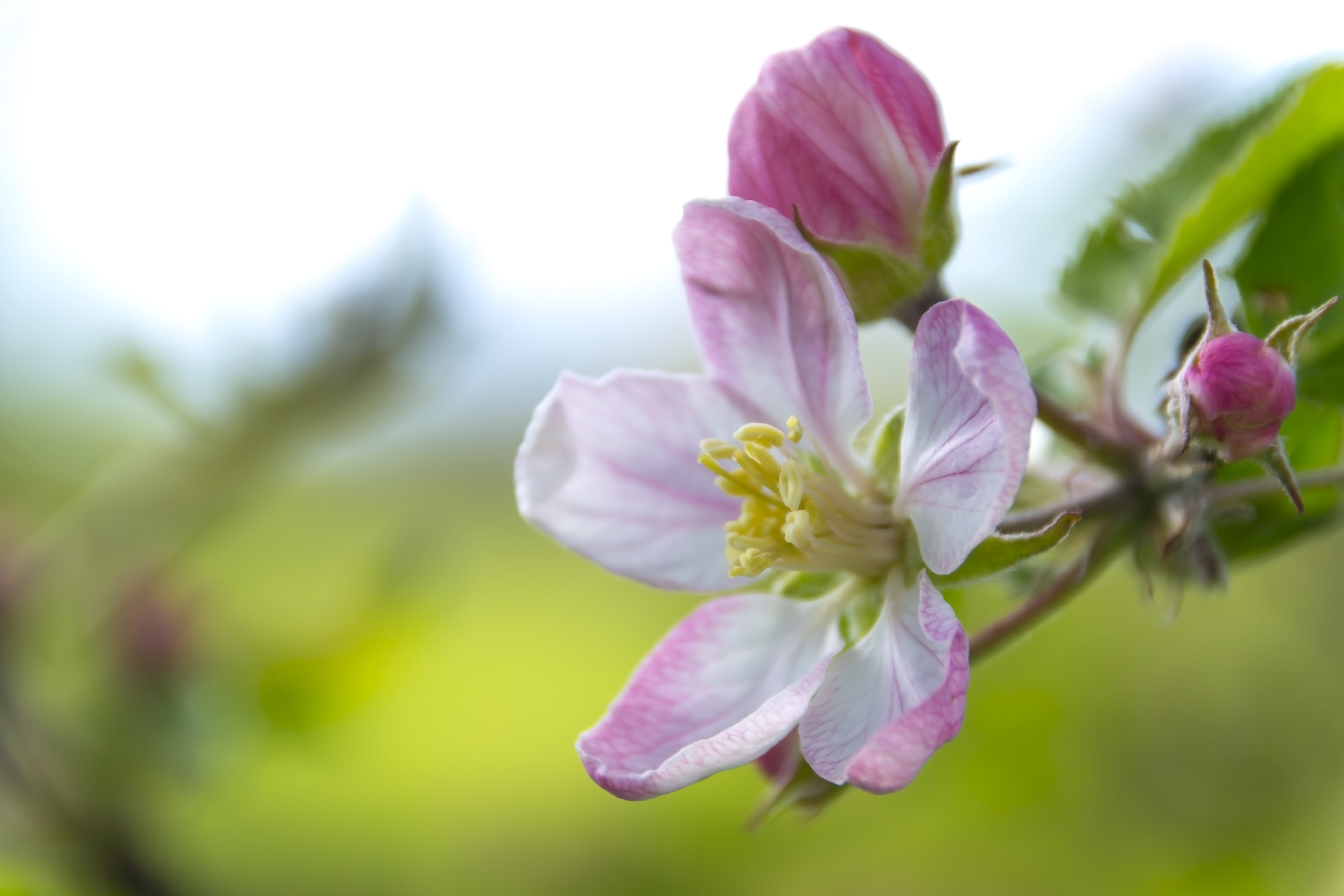 Macro Photography of Pink and White Peach Blossom Flower