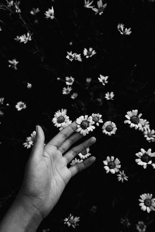 Immagine gratuita di bianco e nero, bocciolo, fiore