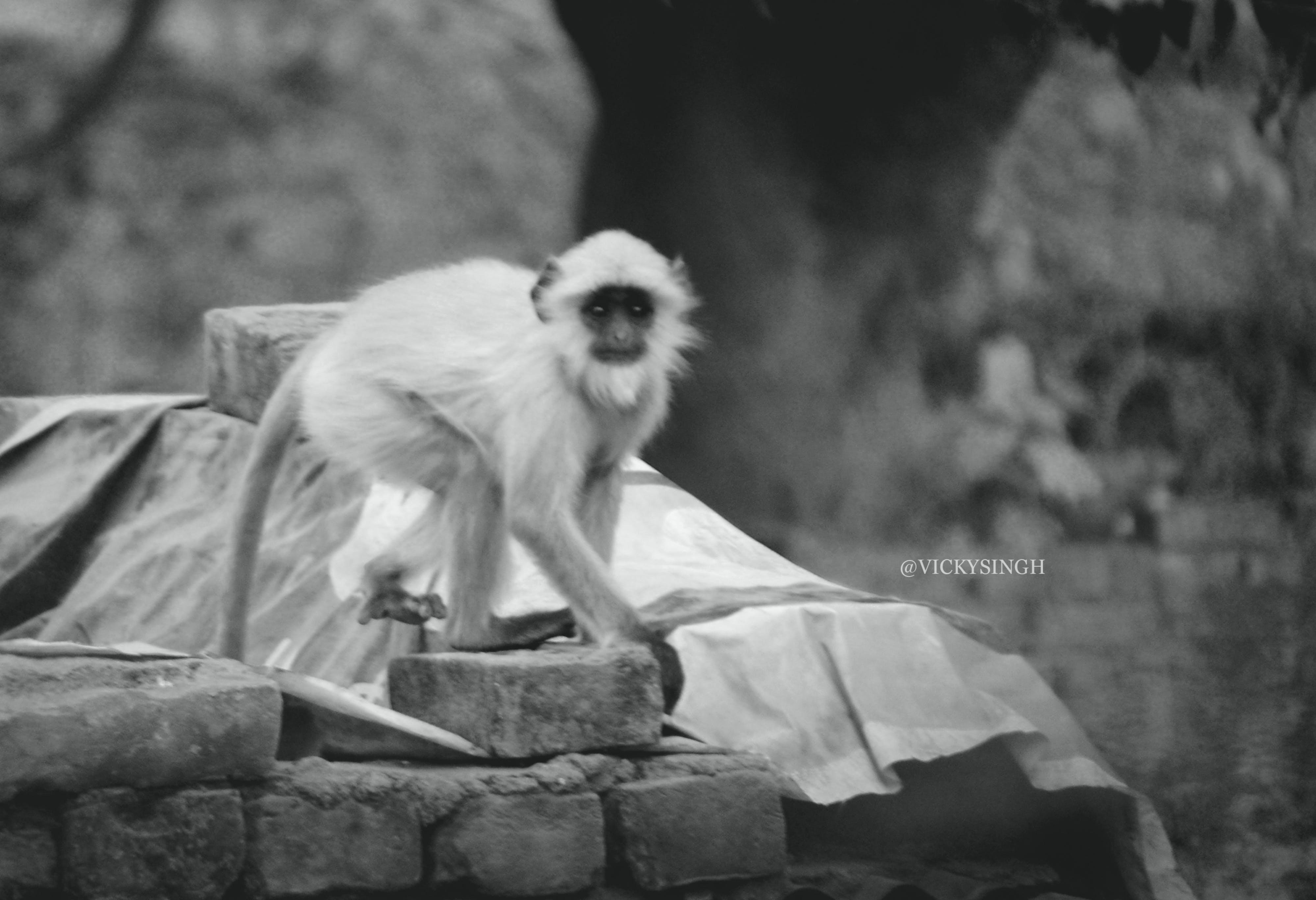 Free stock photo of Adobe Photoshop, animal photography, baby monkey, black and white