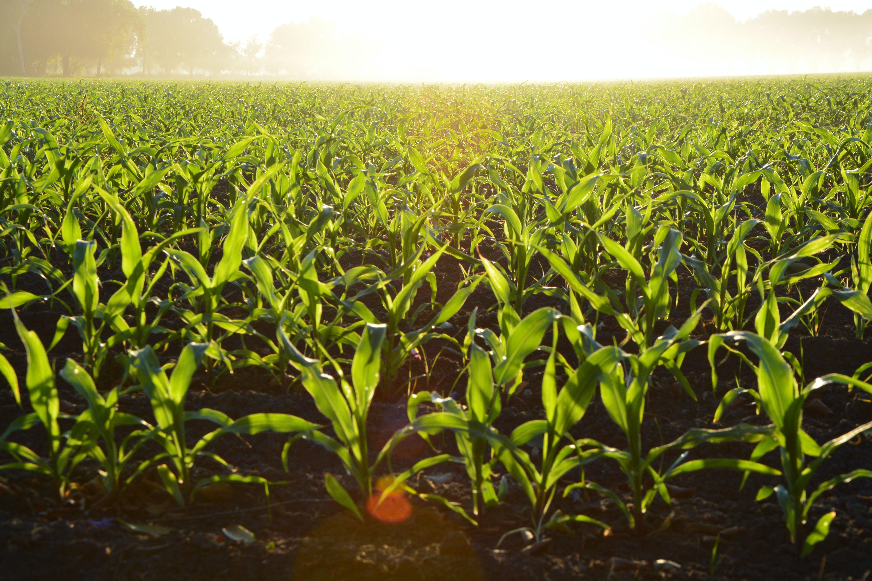 Corn Field during Daytime