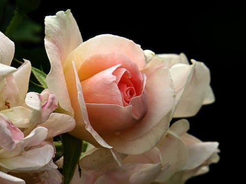 Gratis stockfoto met roos close-up, witte roos