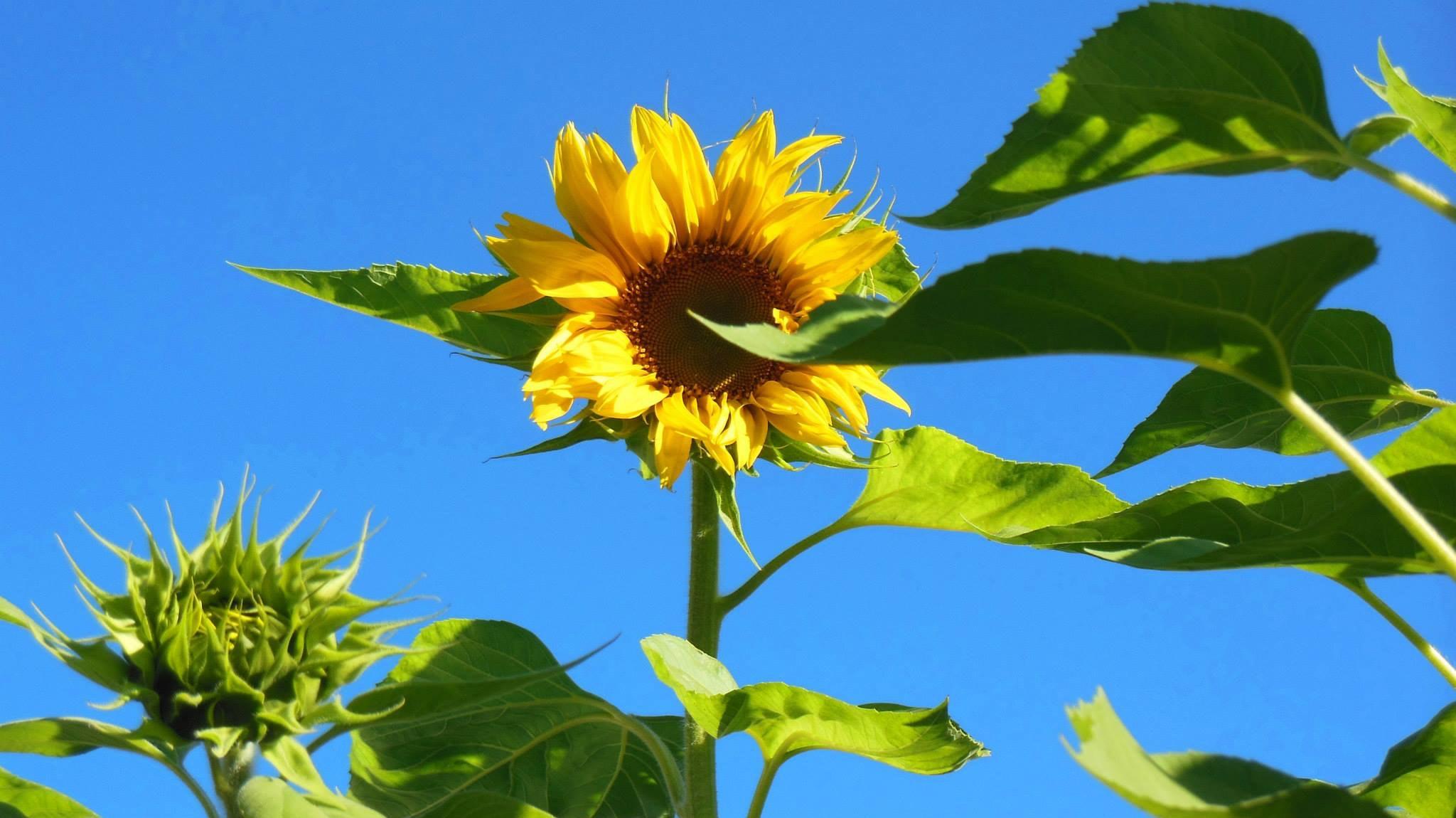 35 Gambar Bunga Matahari Paling Indah Terkini Eye Candy Photograph