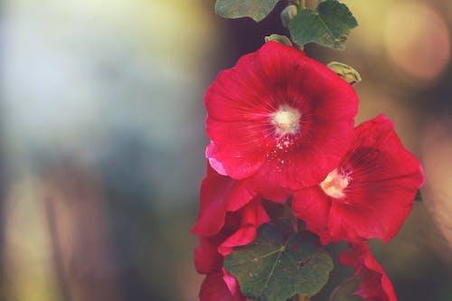 Free stock photo of garden, hollyhocks, red