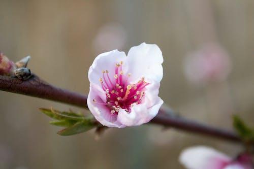 Gratis lagerfoto af blomst, fersken blomst, makro