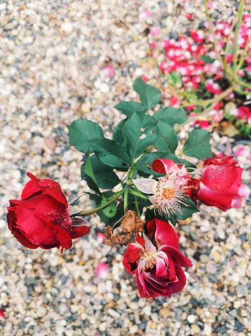 Kostenloses Stock Foto zu rosen hintergrund, rote rose