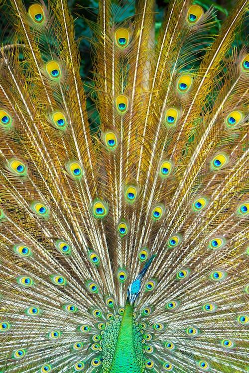 Immagine gratuita di pavone, piume di pavone, tropicale