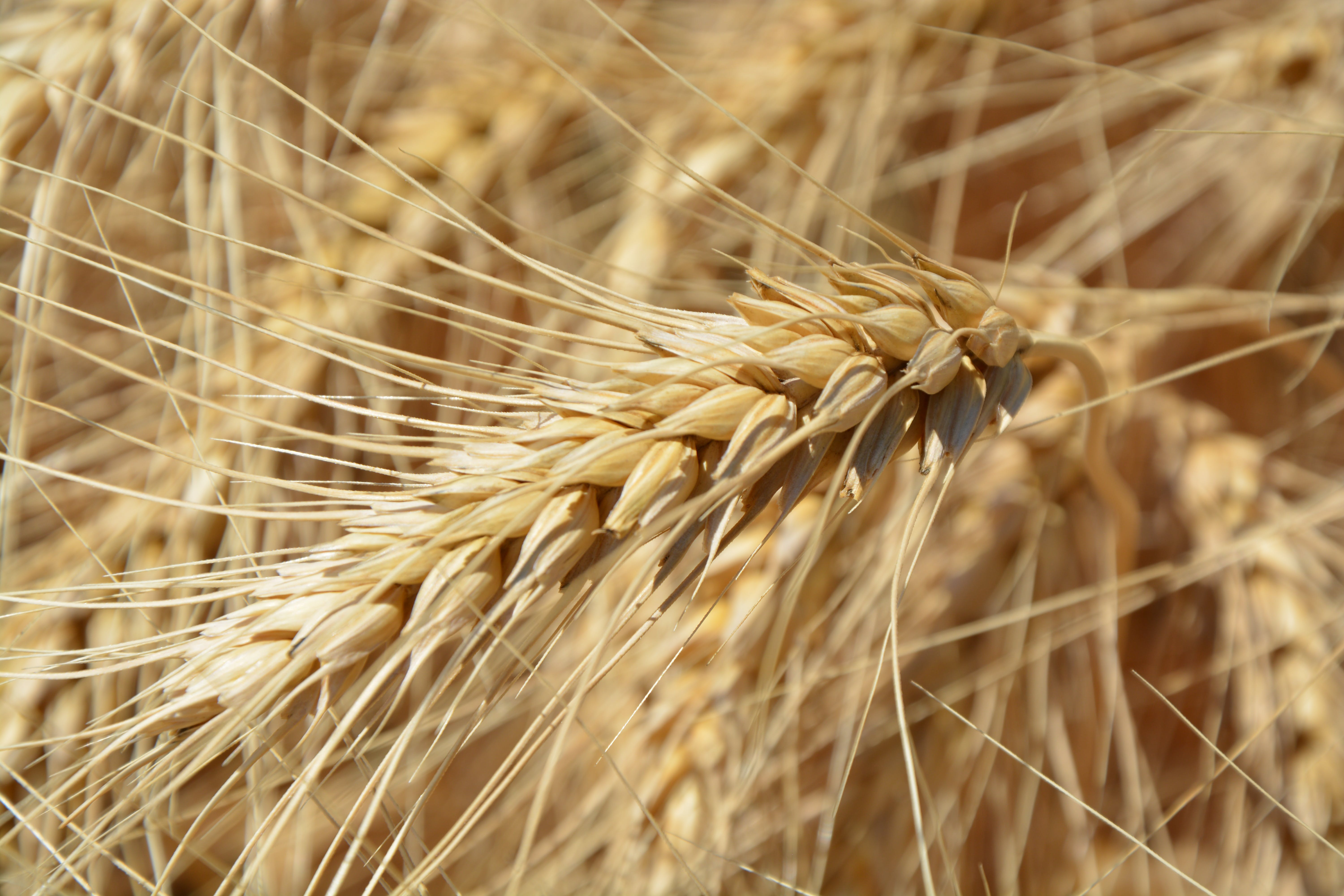 Brown Wheat Plant