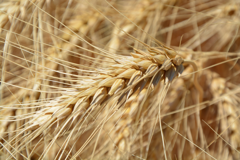 Základová fotografie zdarma na téma hřiště, plodina, pšenice, rostlina