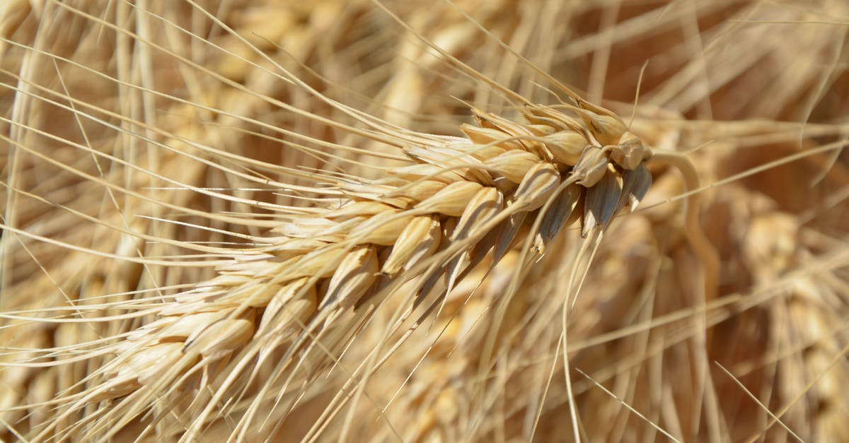 Brown Wheat Plant 183 Free Stock Photo
