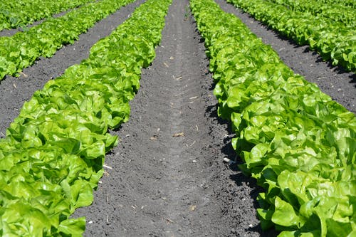 Free stock photo of lettuce