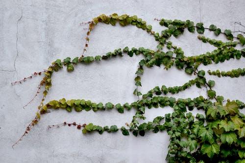 Základová fotografie zdarma na téma břečťan, popínavky, rostlina, závod