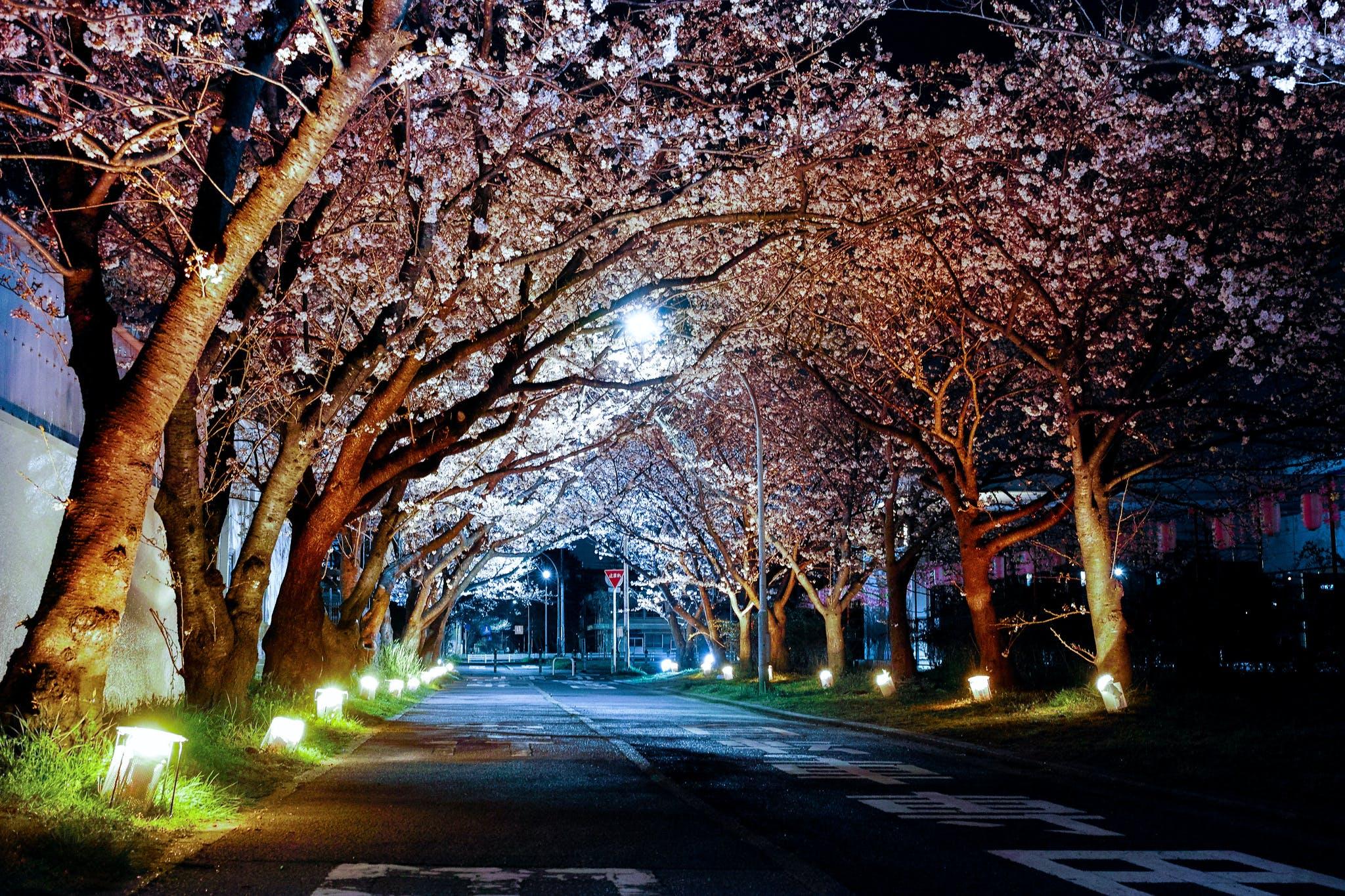 cseresznyevirág, éjszaka, fák
