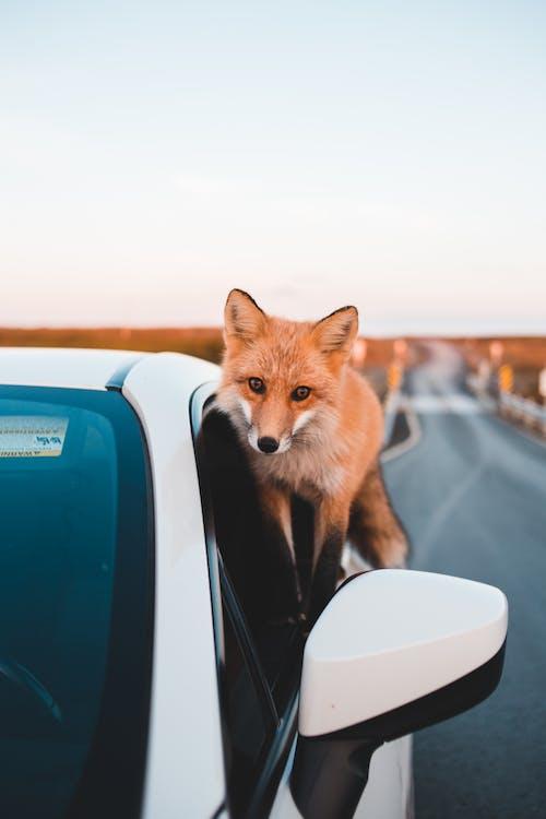 Brown Fox on the Car Window