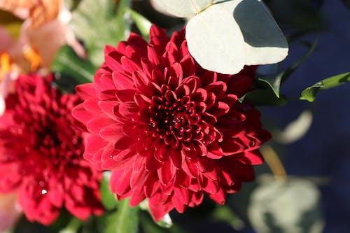 赤い花の無料の写真素材